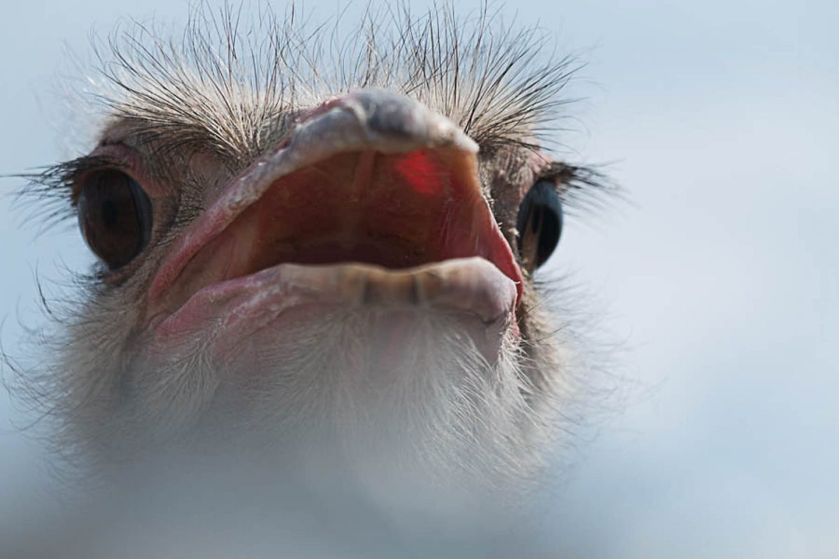 Mr. Ostrich by Jim Berger