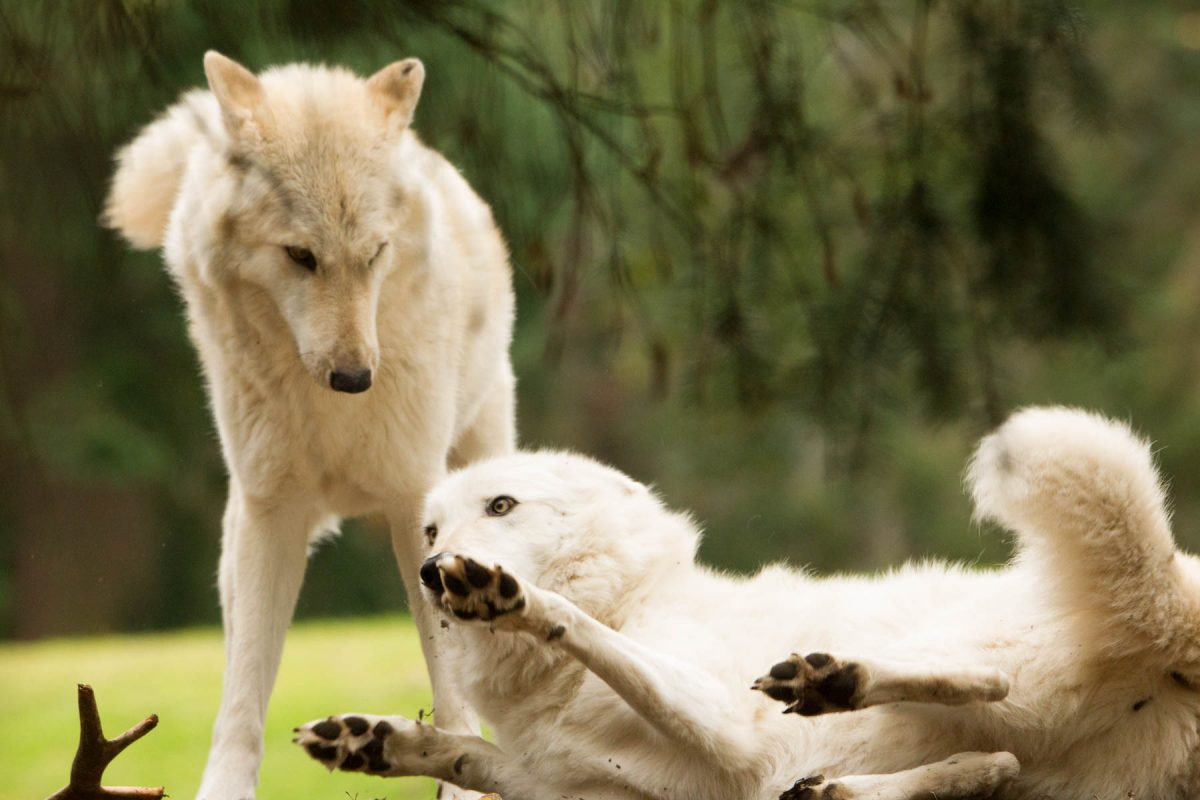 Wolves Playing by Jim Berger