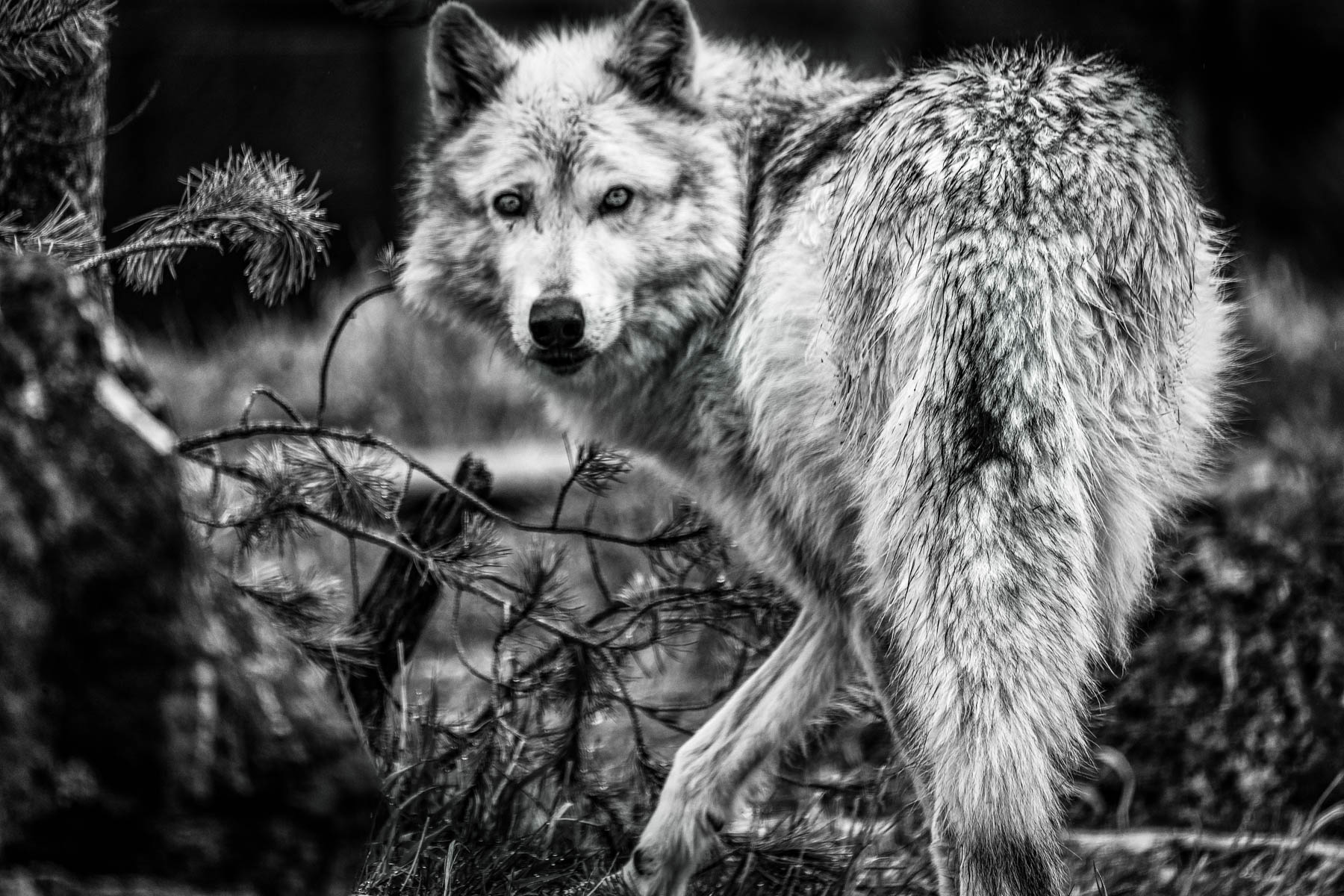 Yellowstone Wolfe by Irene Berger